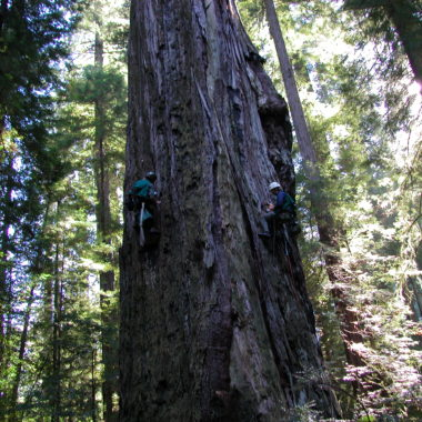 Measuring Sap flow in the Worlds Tallest Trees